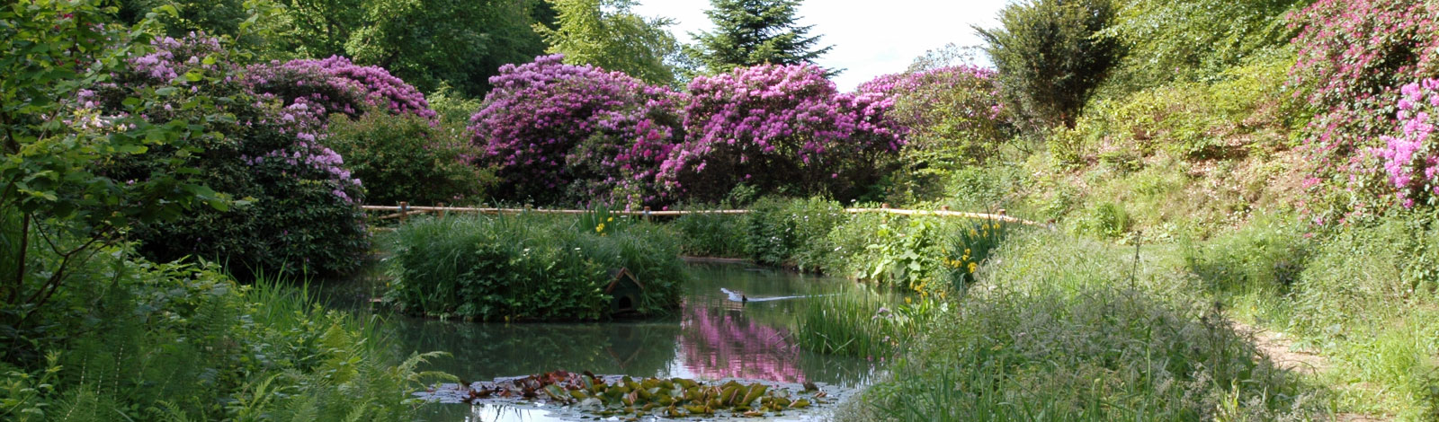 Great beautiful rhodododendron adorns the park in the spring and early summer
